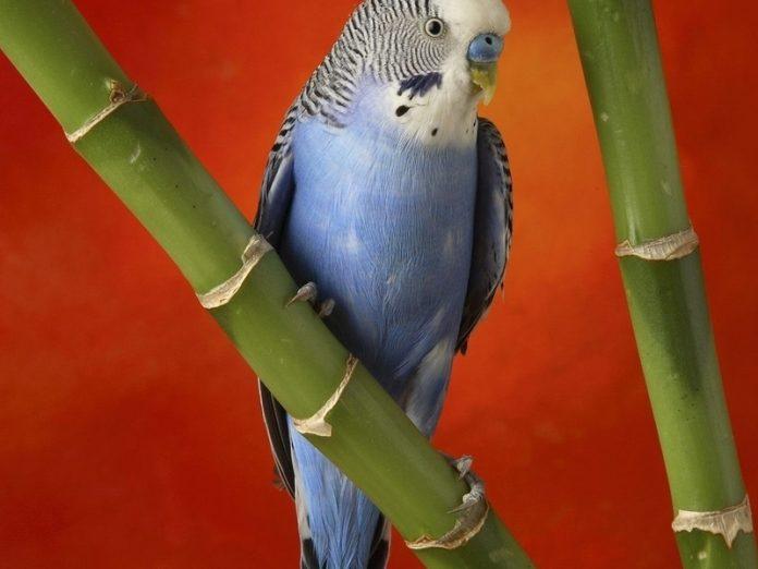 Мужику подарили попугая. Дорогого, красивого.