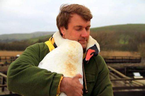 Лебедь обнял за шею спасшего его мужчину