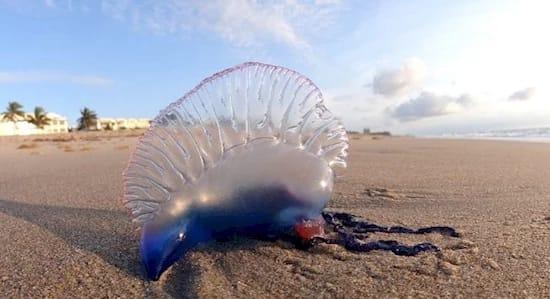Если вы увидите на пляже это создание, бегите со всех ног!
