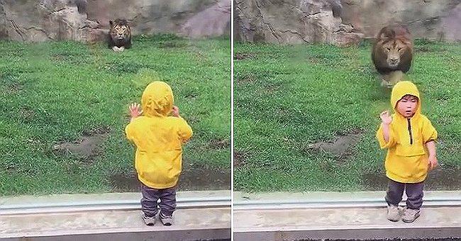 Лев наблюдал за маленьким мальчиком. Вот что произошло, когда малыш отвернулся