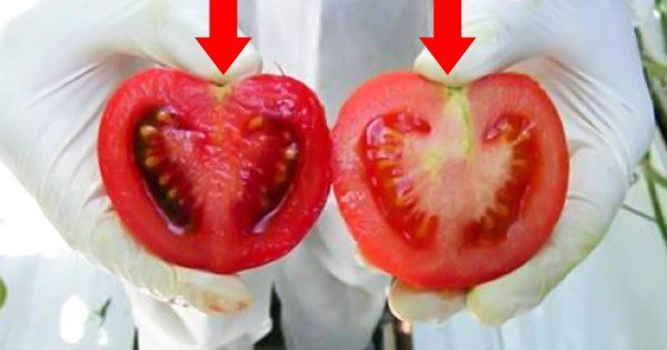 Каждый день мы едим яд! Вот как отличить помидоры с ГМО от натуральных…Каждый день мы едим яд! Вот как отличить помидоры с ГМО от натуральных…