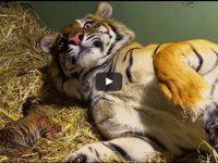 Когда эта тигрица начала рожать, даже работники зоопарка не удержались от восторженных воплей!