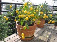 Лимонное дерево дома из косточки