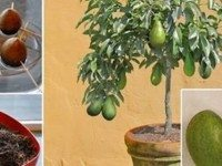 Можете больше не покупать авокадо в магазине. Вот как можно вырастить собственное дерево в небольшом горшке.
