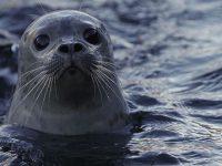Просится на ручки и ночует под окном: спасенный тюлень поверил, что люди – его родители