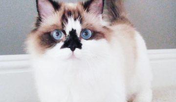 Познакомьтесь с Альбертом — самым милым манчкином, который покорил сердца 450,000 пользователей Instagram