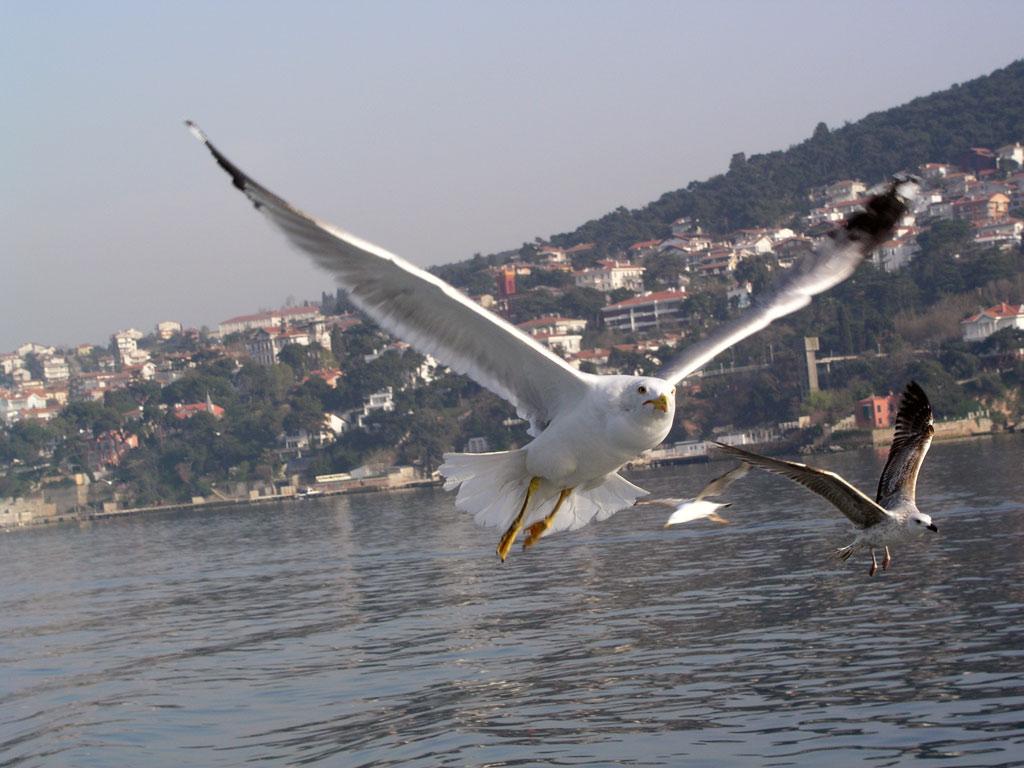 Альбатрос и чайка