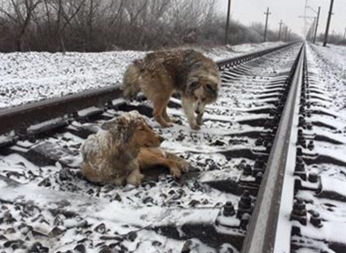Пес два дня ложился под поезд, оберегая раненую подругу на рельсах