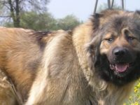 Страшная собака Тархун – помесь кавказца с носорогом-мутантом…