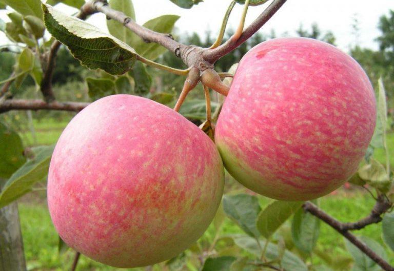 Ворованные яблоки