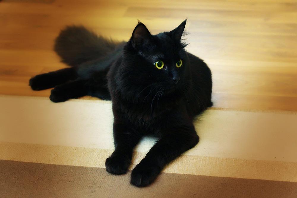 Чёрный кот привёл в дом счастье